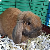 Lop-Eared Mix for adoption in Pottsville, Pennsylvania - Peter