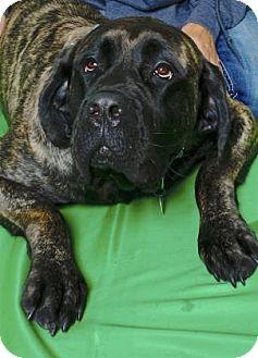 English Mastiff Mix Dog for adoption in Gloucester, Virginia - NYSSA