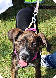Mountain Cur Mix Puppy for adoption in Harrisonburg, Virginia - Giselle