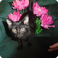 Adopt A Pet :: Peter Pan - Chicago, IL