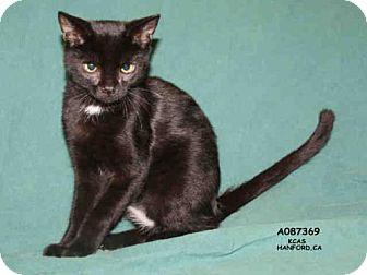 Domestic Mediumhair Cat for adoption in Hanford, California - *STARR