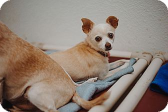 Chihuahua Mix Dog for adoption in Apache Junction, Arizona - Mickey