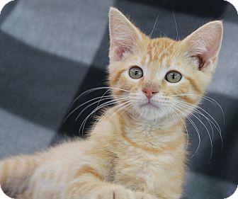 Domestic Shorthair Kitten for adoption in O Fallon, Illinois - Roy