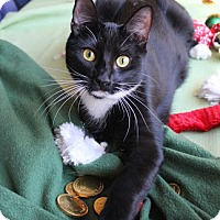 Domestic Shorthair Cat for adoption in Studio City, California - BG - black & white beauty