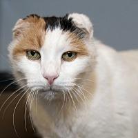 Adopt A Pet :: Gallaudet - Los Angeles, CA