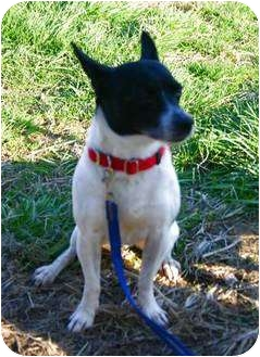 Rat Terrier Mix Dog for adoption in Carmel, Indiana - Bobo Buttniski