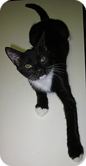 Domestic Shorthair Kitten for adoption in Winchester, California - Jane