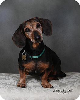 Dachshund Dog for adoption in San Jose, California - Gretchen