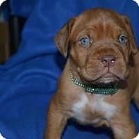 Adopt A Pet :: Goliath - Phoenix, AZ