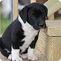 Adopt A Pet :: *Miller - PENDING - Westport, CT