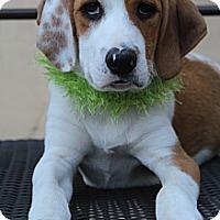 Adopt A Pet :: Darcy - Wytheville, VA