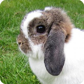 Lop, Holland for adoption in Seattle c/o Kingston 98346/ Washington State, Washington - Kattia