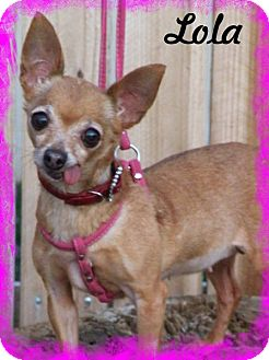 Chihuahua Dog for adoption in Anaheim Hills, California - Lola