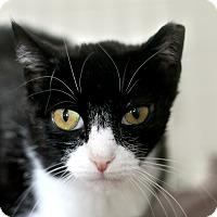 Adopt A Pet :: Vixen Valentine - Chicago, IL