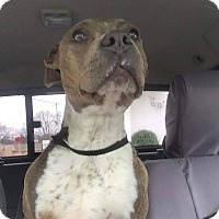 American Pit Bull Terrier Mix Dog for adoption in Covington, Tennessee - Liberty