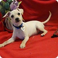 Adopt A Pet :: Scooby Doo - Vacaville, CA