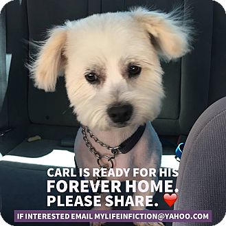 Westie, West Highland White Terrier/Bichon Frise Mix Dog for adoption in Rosamond, California - Carl