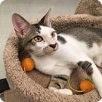 Adopt A Pet :: Tank - Plainville, MA