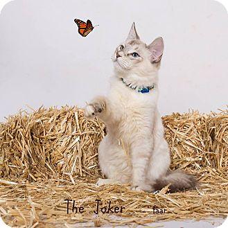 Siamese Kitten for adoption in Riverside, California - Joker