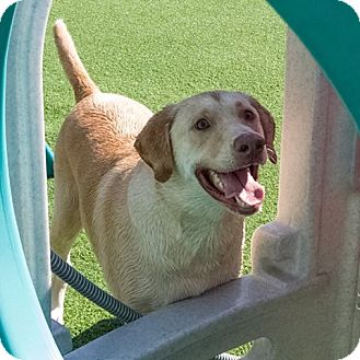 Labrador Retriever Dog for adoption in East McKeesport, Pennsylvania - Ruger