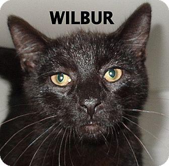 Domestic Shorthair Cat for adoption in Lapeer, Michigan - Wilbur