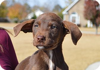 Labrador Retriever Mix Puppy for adoption in Seabrook, New Hampshire - Magic-ADOPTED