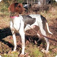 English (Redtick) Coonhound Mix Dog for adoption in Atlanta, Georgia - Vanessa