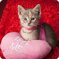 Adopt A Pet :: Maple - Dallas, TX