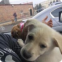 Adopt A Pet :: Lovey - Elgin, IL