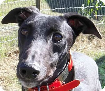 Greyhound Dog for adoption in Longwood, Florida - KJ's Bullet