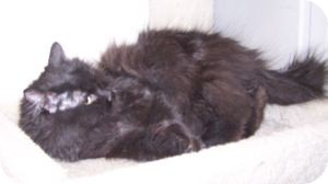 Persian Cat for adoption in Colorado Springs, Colorado - Cathy