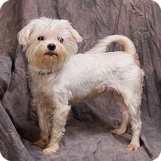 maltese yorkie mix rescue baby adopted dog anna il maltese yorkie yorkshire 1299