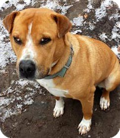 American Pit Bull Terrier Mix Dog for adoption in Little Rock, Arkansas - Willy