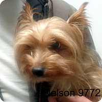 Adopt A Pet :: Nelson - baltimore, MD