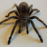 Adopt A Pet :: Rose Hair Tarantula - Lake Forest, CA