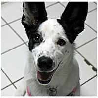Adopt A Pet :: Caleigh - Forked River, NJ