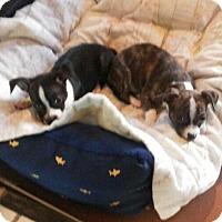 Adopt A Pet :: BOSTIN MIX SISTERS - Chandler, AZ