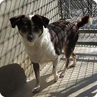 Adopt A Pet :: Betty Boop - House Springs, MO
