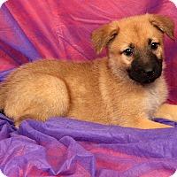 Adopt A Pet :: Sandi Gsmix - St. Louis, MO
