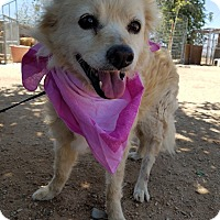 Adopt A Pet :: Snuggles - Apple Valley, CA