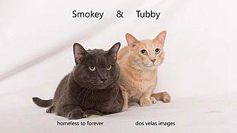 Domestic Shorthair Cat for adoption in Arcadia, California - Tubby & Smokey