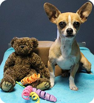 Chihuahua Dog for adoption in Mount Airy, North Carolina - Bentley