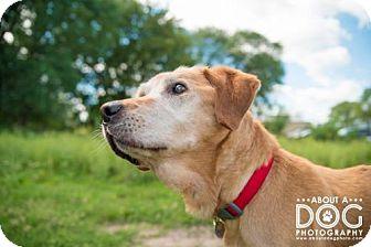Labrador Retriever Dog for adoption in St. Cloud, Minnesota - Kipley ** Pending adoption! **