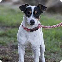 Jack Russell Terrier/Smooth Fox Terrier Mix Dog for adoption in San Diego, California - Paolo
