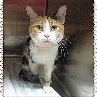 Domestic Shorthair Cat for adoption in Marietta, Georgia - LADY