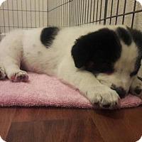 Border Collie Mix Puppy for adoption in Elmira, California - Dot