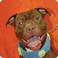 Pit Bull Terrier Mix Dog for adoption in Jackson, Michigan - Tank