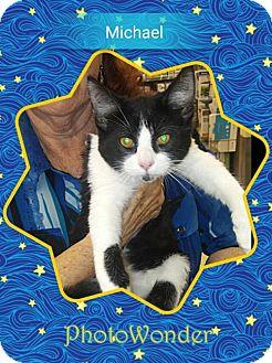 Domestic Shorthair Cat for adoption in San Bernardino, California - Michael