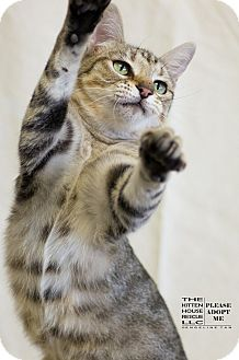 Domestic Shorthair Cat for adoption in Houston, Texas - HEATHER