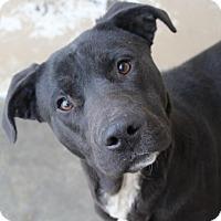 Adopt A Pet :: PIPER - Red Bluff, CA